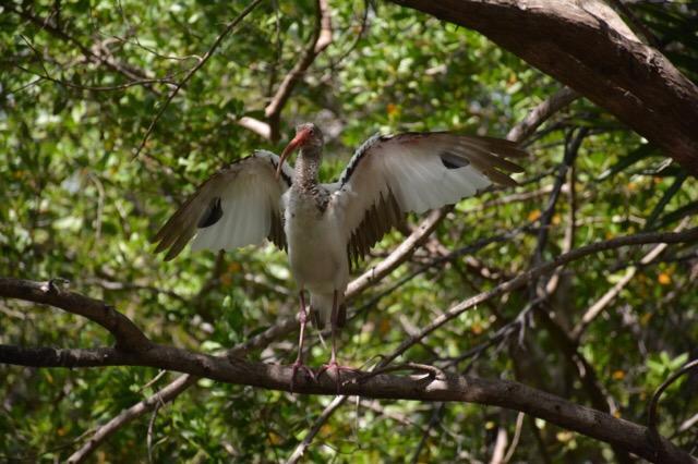 Young ibis at Audubon Pond