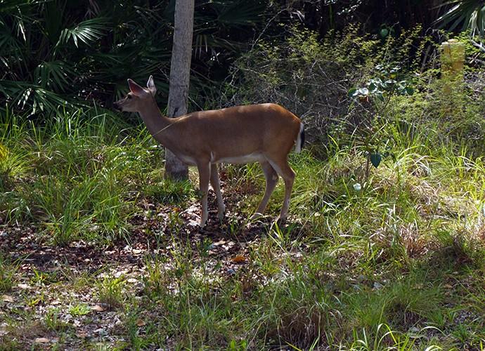 Key deer at Blue Hole
