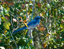 Bringing back scrub-jays on the Cross Florida Greenway