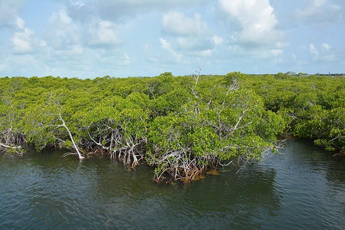 Mangrove shoreline of Key Largo