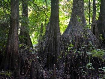 Ancient cypresses at Cypress Lakes Preserve