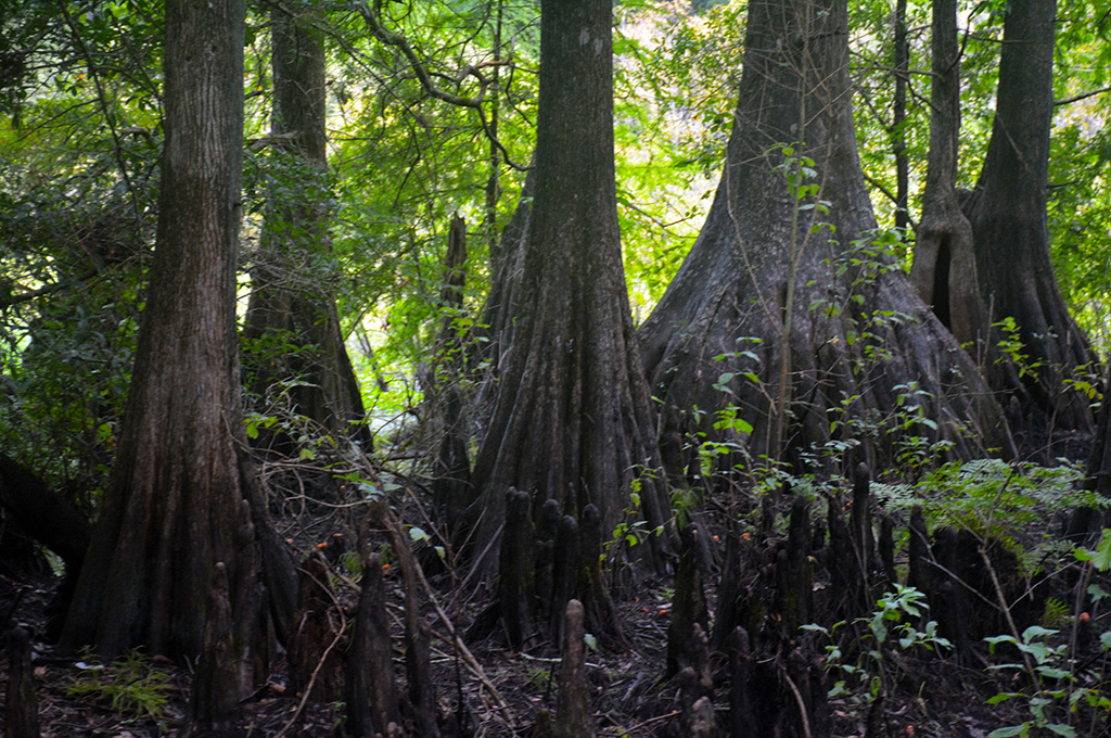 Ancient cypresses at Cypress Lakes Preserve