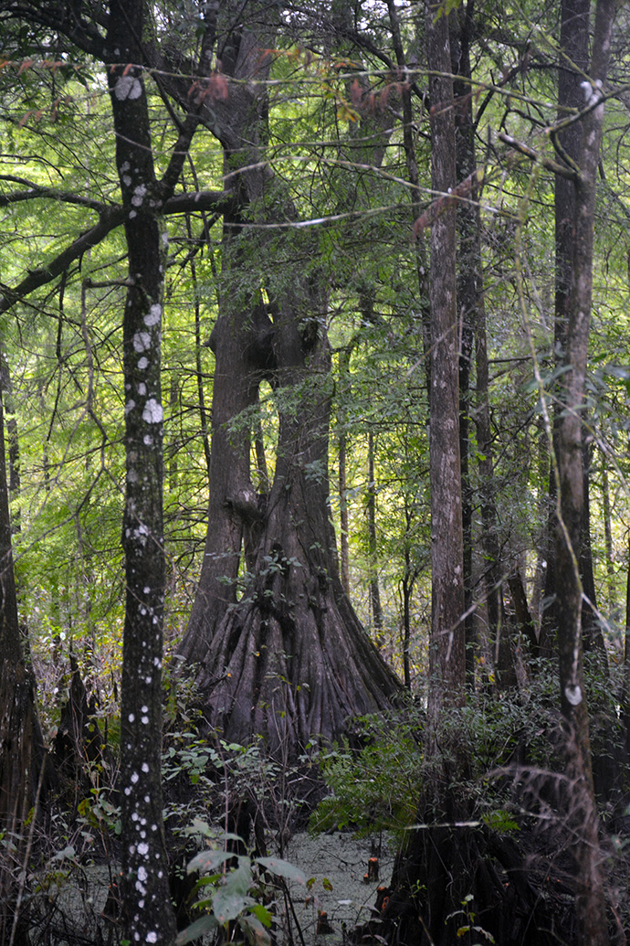 At Cypress Lakes Preserve in Ridge Manor, a 1.7-mile segment of the Florida Trail follows the edge of a series of cypress-lined lakes where ancient trees have survived the ages.