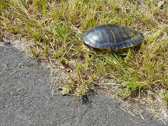 Trailside turtle