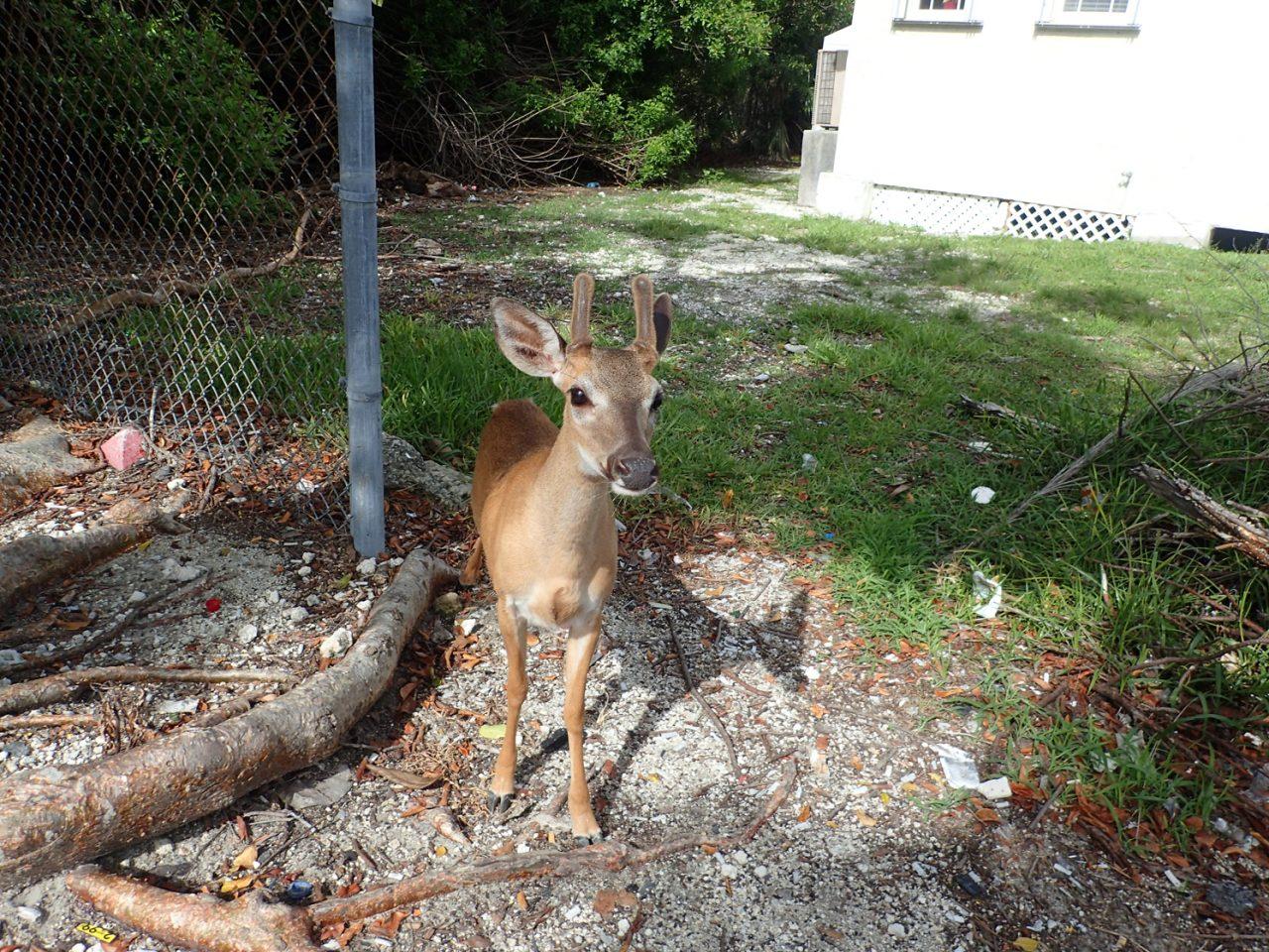 Key deer at Tom Thumb