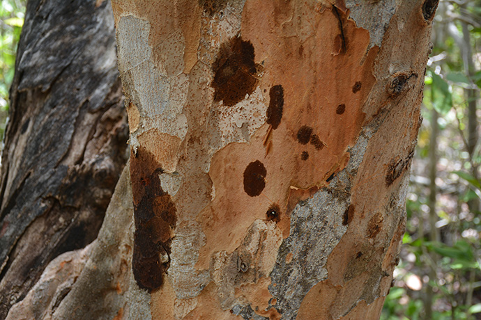 Poisonwood bark