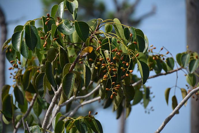 A poisonwood tree with fruit