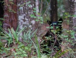 Young Florida black bear