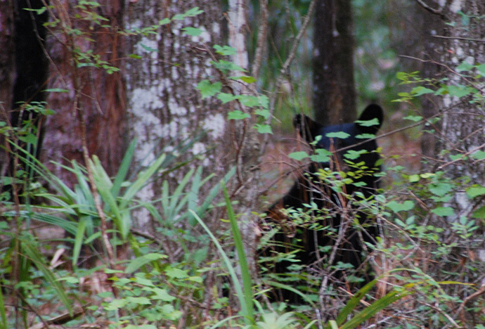 Young Florida black bear