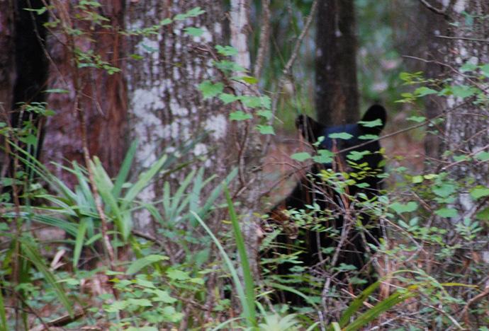young florida black bear bear hunt   florida hikes   rh   floridahikes