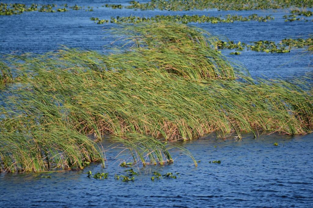 Wind in the Okeechobee marshes