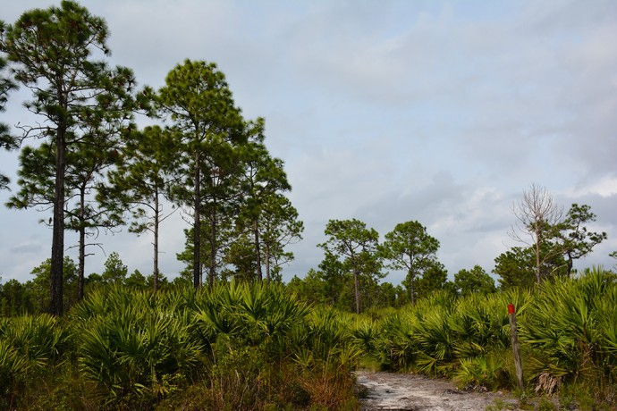 On the Red Trail at Scottsmoor Flatwoods
