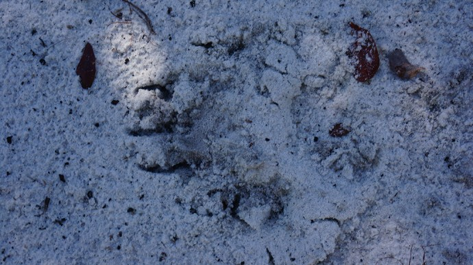 Bear paw print in the Florida Trail