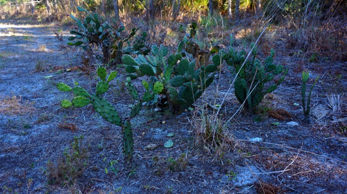 Tall cacti in the scrub