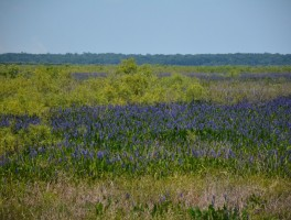 Paynes Prairie in purple