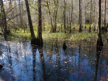 Picturesque cypress swamp
