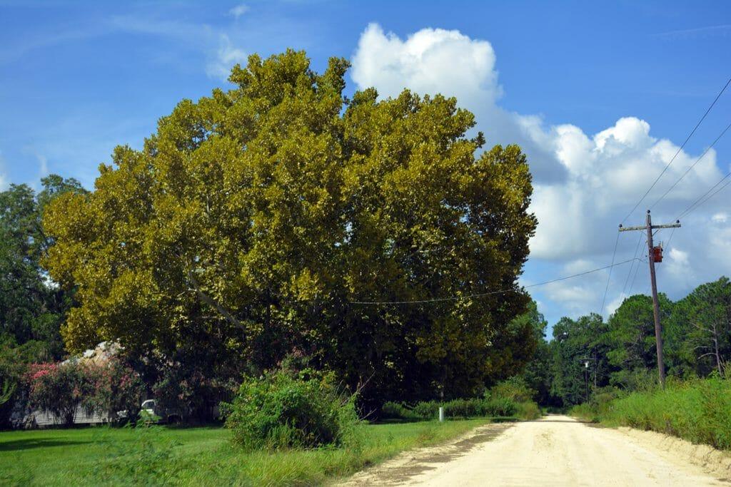 Sycamore tree Sirmans