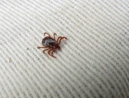 American dog tick (US Fish & Wildlife Service)