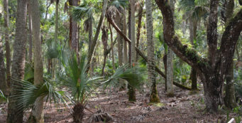 The Florida Trail in Tosohatchee WMA