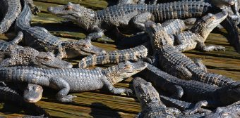 Alligators between 2 and 4 years old