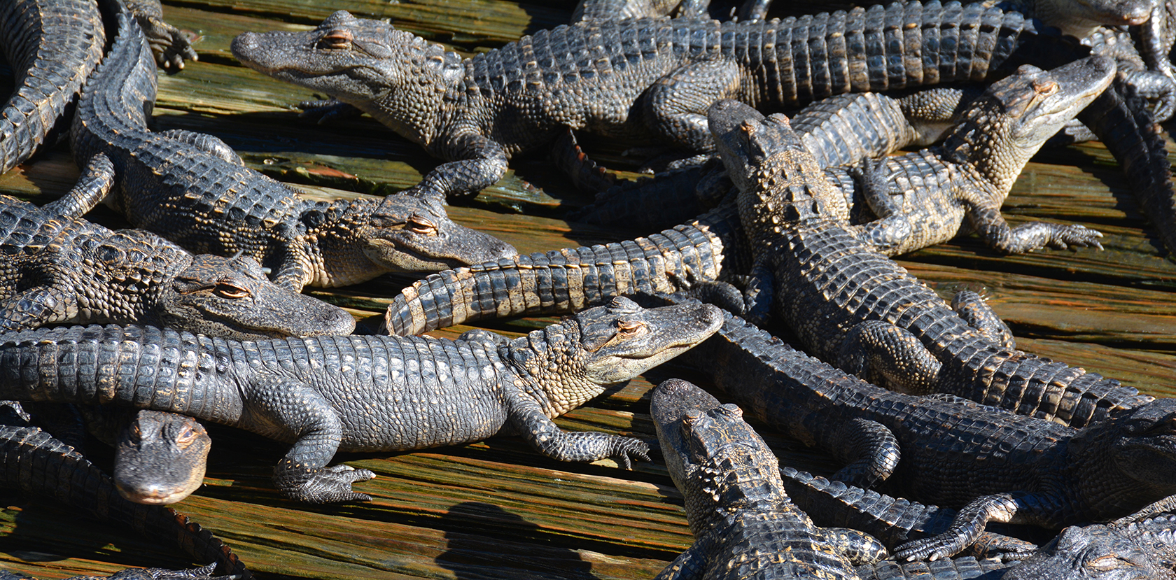 Reconnecting with Gatorland