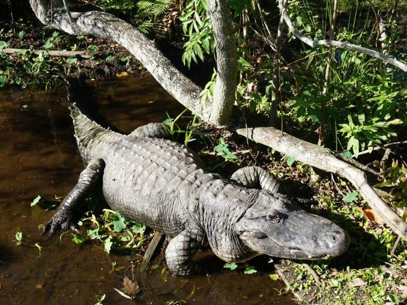 Gatorland alligator