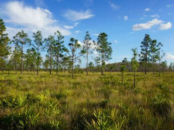 Pine flatwoods at Prairie Lakes