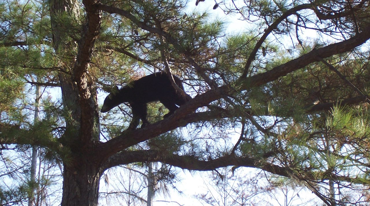 Bear in tree (FWC photo)