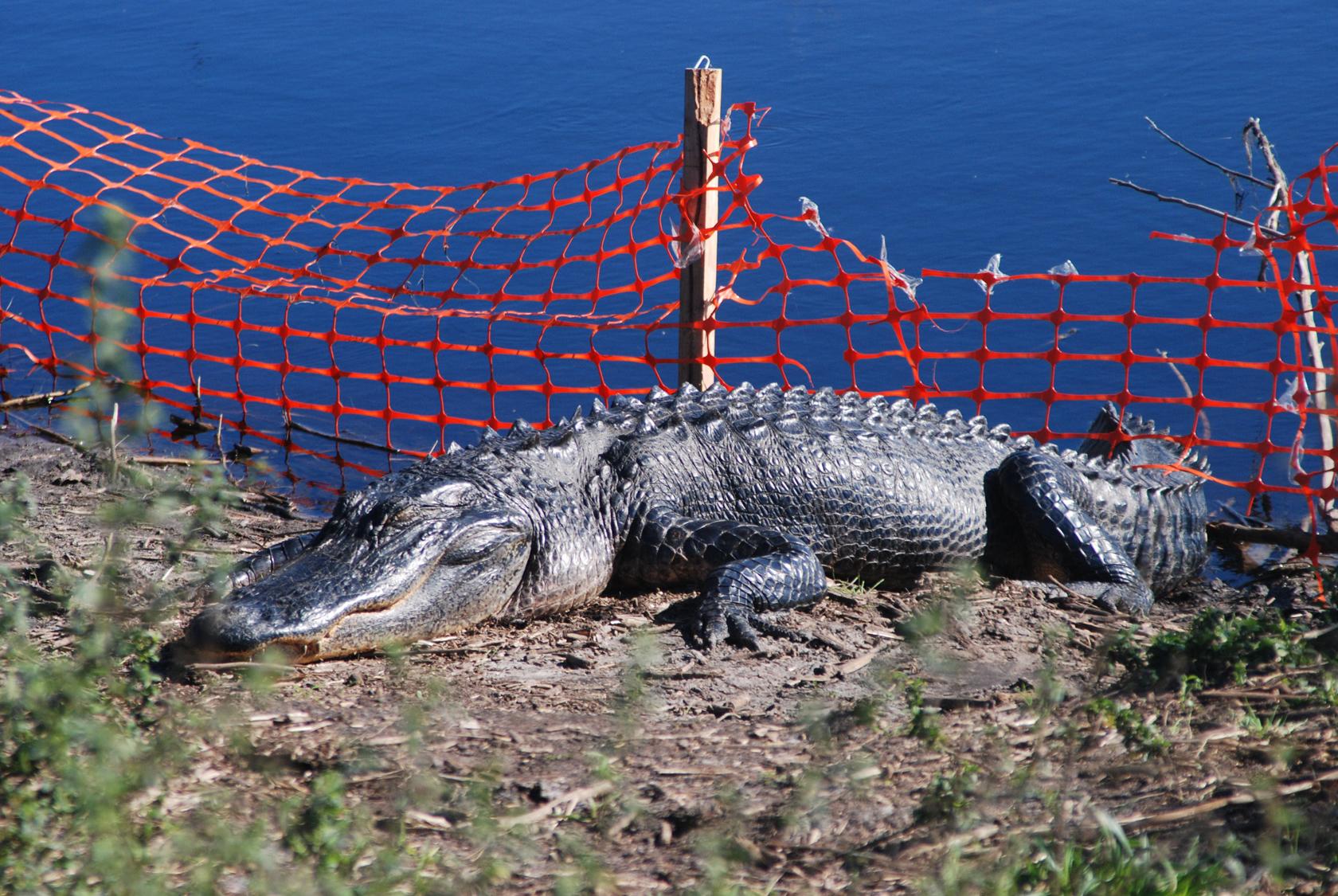 La Chua alligator