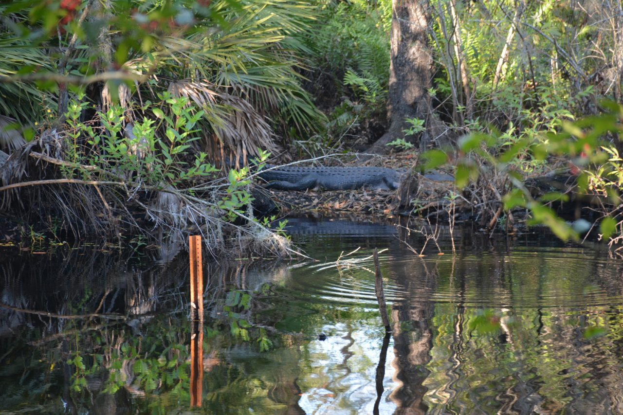 Brooker Creek Preserve alligator