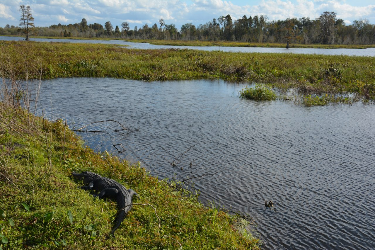 Alligator Circle B