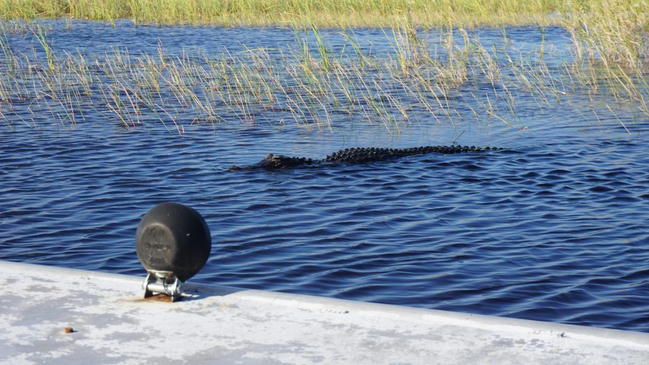 Alligator near an airboat in the Everglades