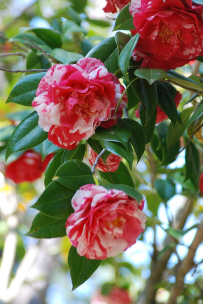 Camellias at Dorothy B. Oven Park
