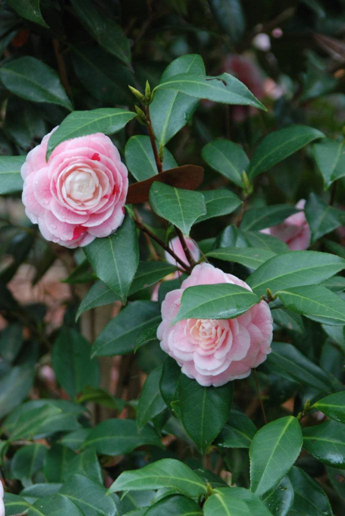 Showy camellias at Dorothy B. Oven Park