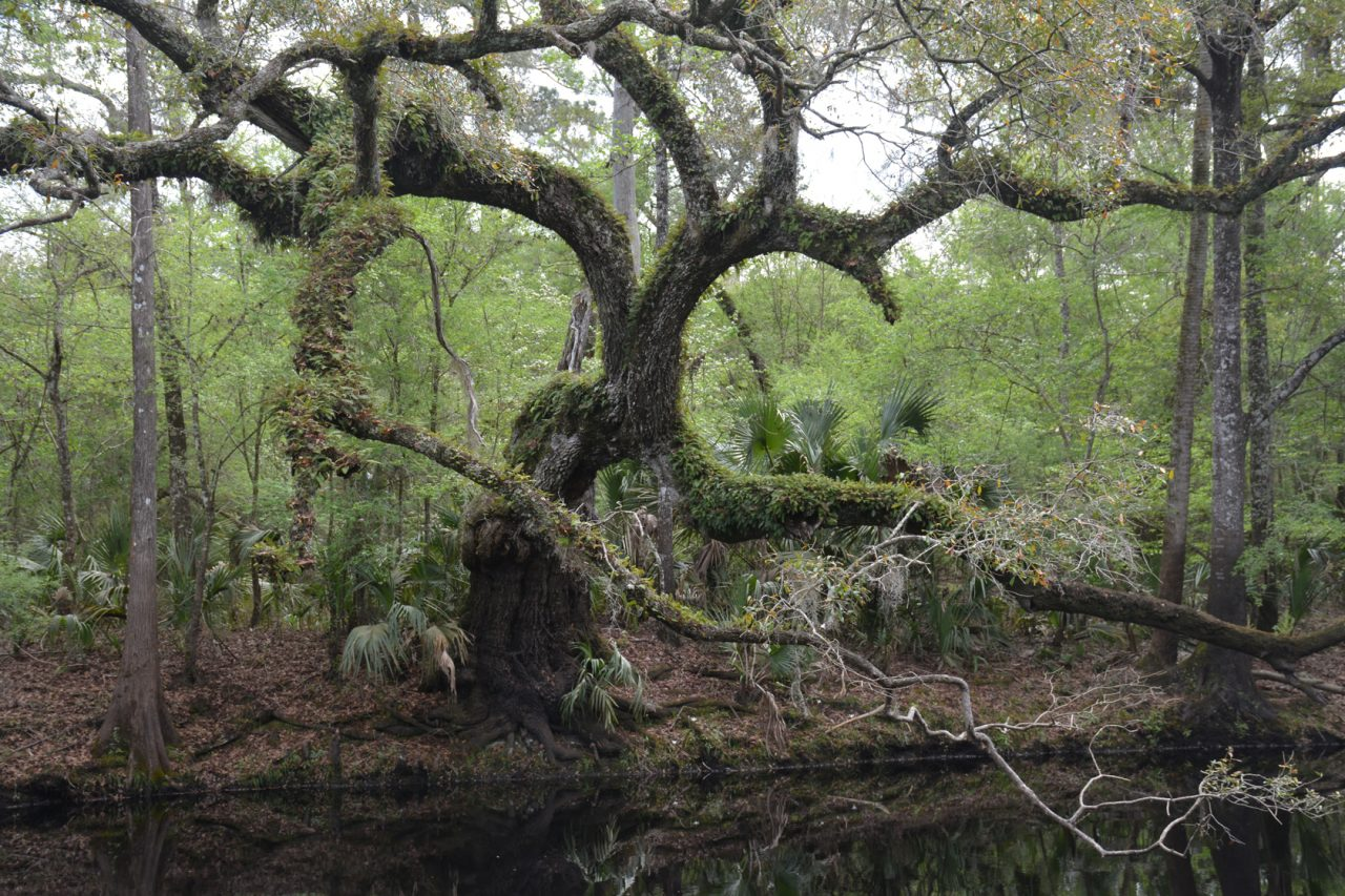 Majestic oak upriver from Steinhatchee Falls