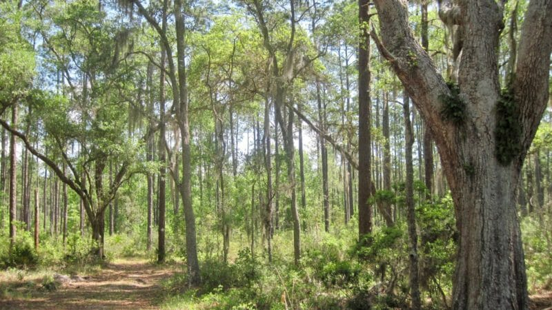 Oak hammock in Longleaf Flatwoods Reserve