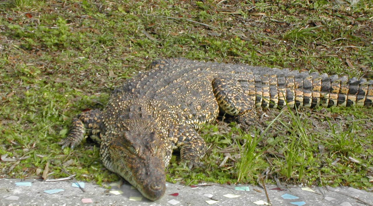 American crocodile in captivity, Gatorama
