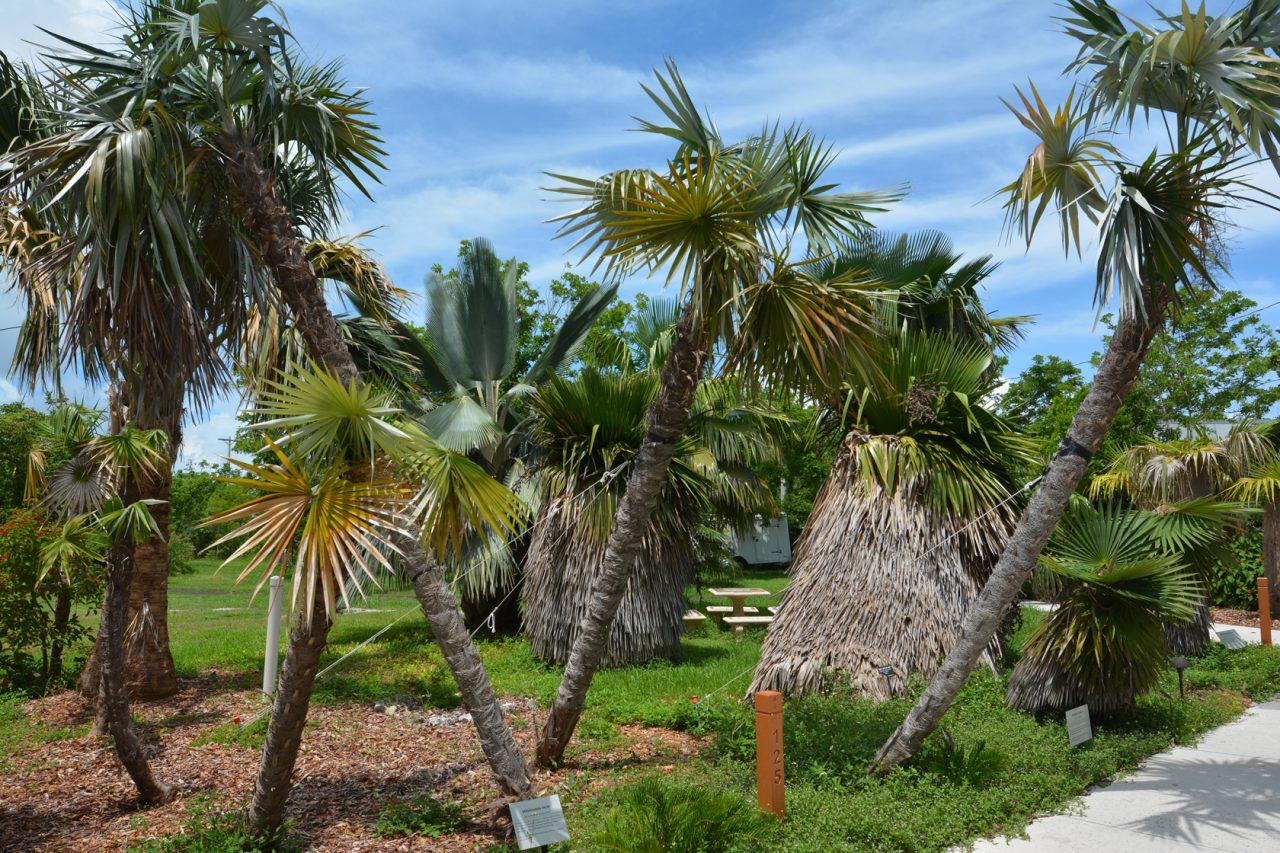 Cuban palm collection