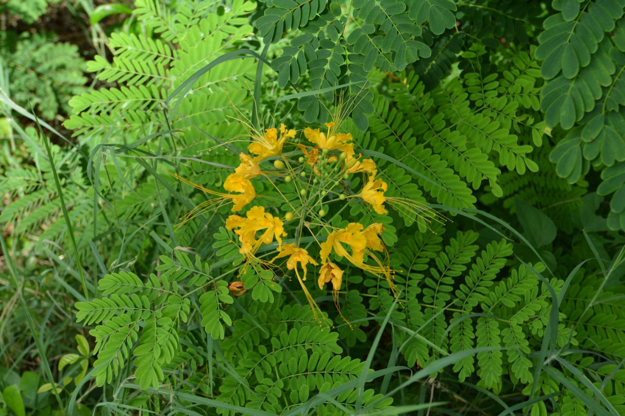 Yellow poinciana (Peltophorum pterocarpum)