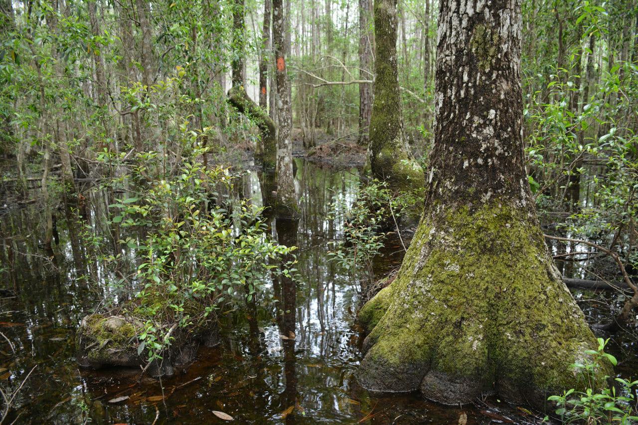 Tupelo swamp Florida Trail