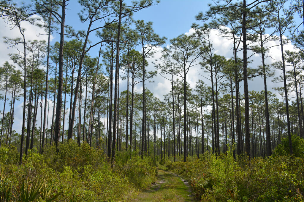 Wet flatwoods Apalachicola National Forest