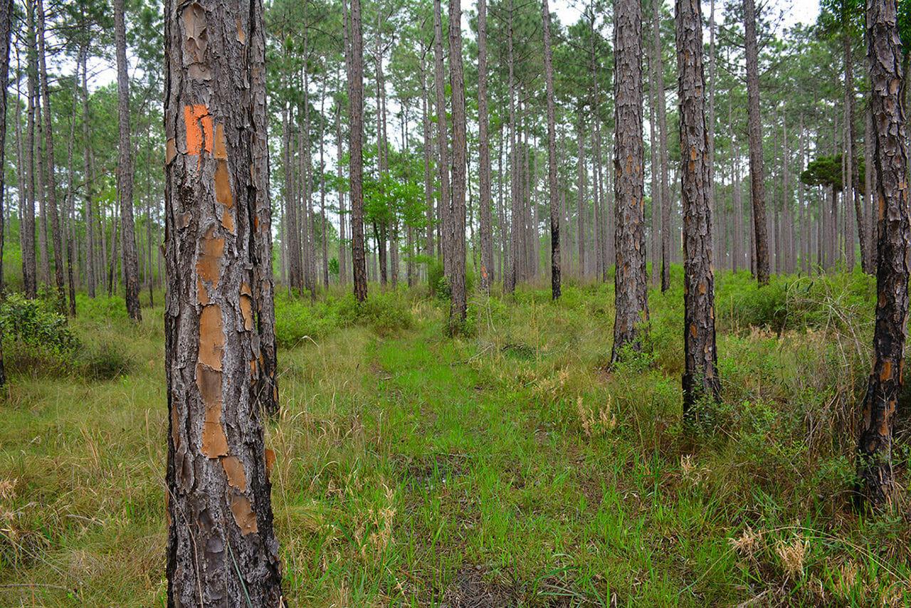 Pine savanna along the Florida Trail