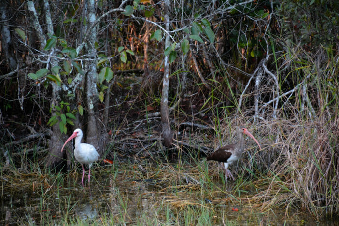 Young ibis under a pond apple tree