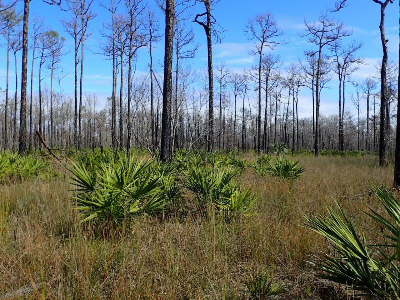Big Cypress burned pines