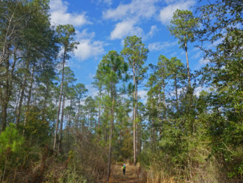Florida Trail Nokuse longleaf pines