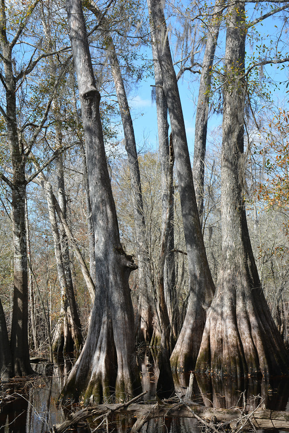 A pleasant ramble on bluffs above the Withlacoochee River, the Croom River Trail segment of the Florida Trail tunnels through oak hammocks and slips around cypress swamps along its 6.3-mile journey.
