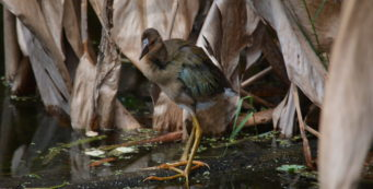 Juvenile purple gallinule