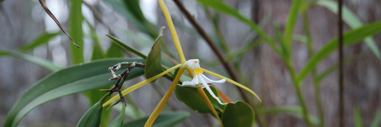Dingy-star orchid in Big Cypress