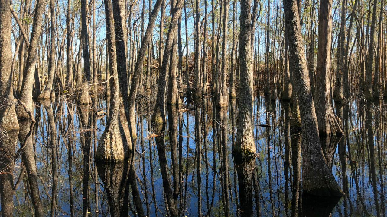 Cypress swamp at Veterans Memorial Park in Bristol