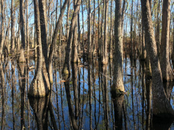 Cypress swamp at Veterans Memorial Park in Bristol
